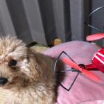 本日のすすきさん(犬)Vol.3 ミニドローンとご対面