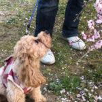 本日のすすきさん(犬)Vol.5 桜が綺麗なのでお花見さんぽ