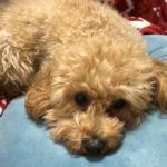 本日のすすきさん(犬)Vol.4 トリミングで、すすきのようなしっぽがモフモフに
