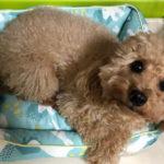 本日のすすきさん(犬)Vol.6 ひんやりクッションをゲット